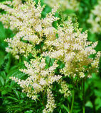 Delicate Astilbe Stock Photos