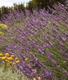 Flowering of fragrant gentle lavender stock image