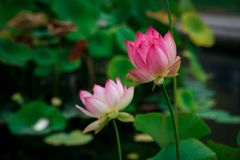 Lotus flowers, symbolizing growth and new beginnings. Delicate and beautiful bright pink lotus water lilies rising above green lily pads with tranquility and Royalty Free Stock Images