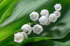 Delicate beautiful flower of lily of the valley lies on a green leaf. Soft focus royalty free stock photography