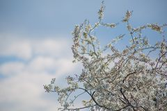 Delicate beautiful flowering tree with white flowers on sunny day against boundless blue sky with clouds. Delicate beautiful flowering tree with white flowers on royalty free stock image