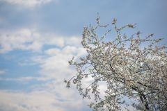 Delicate beautiful flowering tree with white flowers on sunny day against boundless blue sky with clouds. Delicate beautiful flowering tree with white flowers on stock photos