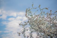 Delicate beautiful flowering tree with white flowers on sunny day against boundless blue sky with clouds. Delicate beautiful flowering tree with white flowers on stock image