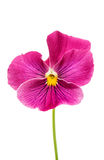 Delicate beautiful pink flower heartsease. Heartsease delicate beautiful pink flower on white background Stock Photo
