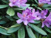 Delicate Beautiful Purple Flowers. During the spring Stock Photography