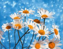 Delicate beautiful tender white daisy flowers in a smart bouquet Royalty Free Stock Photo