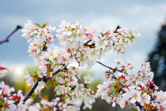 Delicate beauty - petals of a blooming tree.  Taken in Moscow. Royalty Free Stock Images