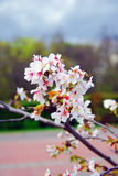 Delicate beauty - petals of a blooming tree.  Taken in Moscow. Royalty Free Stock Photo