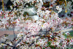 Delicate beauty - petals of a blooming tree.  Taken in Moscow. Stock Photos