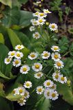 Delicate beauty. Small camomile flowers grow in a summer garden. Stock Photo