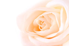 Delicate beige rose royalty free stock images