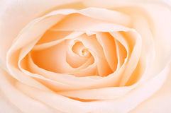 Delicate beige rose stock image