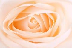 Delicate beige rose. Delicate high key beige rose macro floral background Stock Image