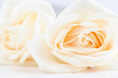 Delicate beige roses Royalty Free Stock Image