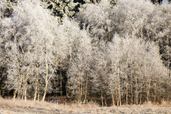 Delicate birch tree twigs in hoarfrost and snow Stock Photography