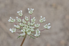 Delicate Bloom of Queen Anne's Lace With a Gray Backgound. Beautiful, delicate, Queen Anne's Lace bloom with a gray background Royalty Free Stock Image