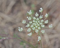 Delicate Bloom of Queen Anne's Lace. Delicate little bloom of Queen Anne's Lace on a hot summer day Stock Photography