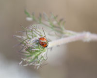 Delicate Bloom of Queen Anne's Lace With a Tiny Ladybug Royalty Free Stock Images