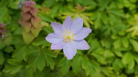 Delicate blue Anemone hepatica flower close up on green leaves background. Ornamental flowers royalty free stock images