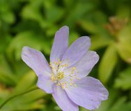 Delicate blue Anemone hepatica flower close up on green leaves background. Ornamental flowers stock images