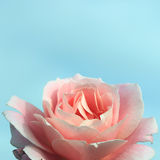 Delicate blue background with a pink rose Stock Image
