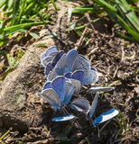 Delicate blue butterflies in nature Royalty Free Stock Photos