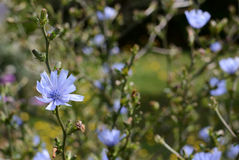 Delicate blue chicory flowers Royalty Free Stock Image