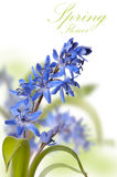 Delicate blue first spring flower ower white Stock Photo