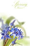 Delicate blue first spring flower ower white.  royalty free stock photos