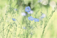 Delicate blue flax flowers on a green background. The pastel shades. Selective soft focus. stock photo