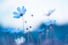 Delicate blue flowers. Blue cosmos with beautiful toning. Artistic image of flowers. Royalty Free Stock Image