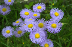 Delicate blue flowers(Erigeron) Royalty Free Stock Images