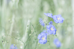 Delicate blue flowers of flax on a beautiful green background. Linen outdoors. Selective focus. Stock Images