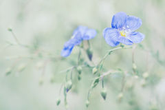 Delicate blue flowers of flax on a beautiful green background. Linen outdoors. Selective focus. Delicate blue flowers of flax on a beautiful green background Stock Images