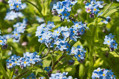 Delicate blue flowers of the forget-me-not Alpine garden lat. Myosotis hybrida in the spring flowerbed Stock Photo