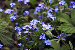 Delicate blue flowers among the grass. Forget-me-nots. Plants. Spring and summer. Delicate blue flowers among the grass. Forget-me-nots. Plants. Delicate blue Stock Photography