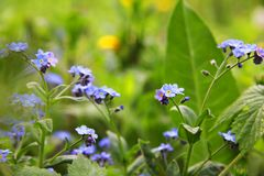 Delicate blue flowers among the grass. Forget-me-nots. Plants. Spring and summer. Delicate blue flowers among the grass. Forget-me-nots. Plants. Delicate blue Stock Images