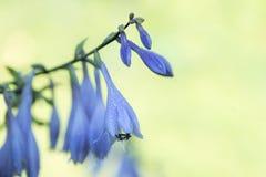 blue hosta flowers on blur nature green background. Beautiful bell garden flowers. Shallow depth of field