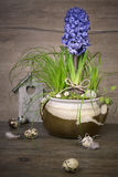 Delicate blue hyacinth on wooden background Stock Photos
