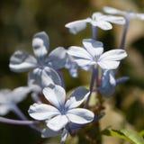 Delicate blue petals Royalty Free Stock Photos