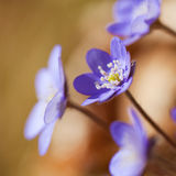 Delicate blue spring flower Royalty Free Stock Photos