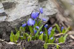 Delicate bluebell snowdrop spring crocus in the mountains Stock Photos