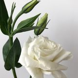 Delicate bouquet of Chinese roses on a white background. Young roses. Buds of Chinese roses. A small cute bouquet with a white rose and new buds Stock Images