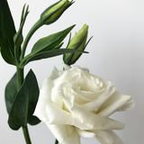 Delicate bouquet of Chinese roses on a white background. Young roses. Buds of Chinese roses. A small cute bouquet with a white rose and new buds Royalty Free Stock Image