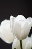Delicate bouquet of a white tulips on a dark background. vertica Stock Images