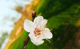 A delicate branch of white blossom royalty free stock images