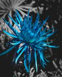 Blue flower against black and white. Delicate bright blue spider chrysanthemum glowing against a black and white background Royalty Free Stock Photos