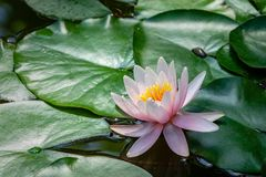 Delicate bud pink water lilies or lotus flowers Marliacea Rosea opened early in morning in garden pond. Nymphaea blossom among huge leaves. Selective focus royalty free stock images