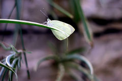 Delicate butterfly on grass. A closeup profile view of a delicate green butterfly perched on a blade of grass Stock Image