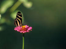 A delicate butterfly on pink flower Royalty Free Stock Photography